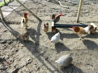 pekin bantams for sale