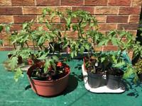Healthy Tomato Plant, Cherry and Medium Sized