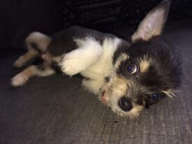 2 Chihuahua X Yorkie | FOR SALE