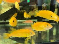 Malawi Cichlids - from £4