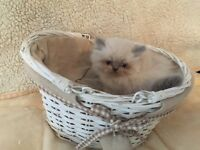 Stunning full pedigree persian kittens