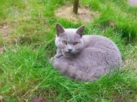 Female British short haired X cat missing in Forest Town area