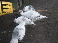 crollwitzer turkers