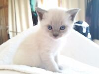 Blue point kittens siamese x BSH