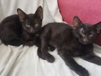 Adorable black kittens ready for a brand new home Streatham Hill SW2