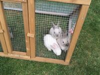 Baby rabbits ready 25th August