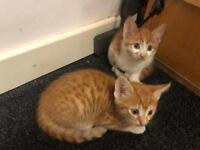 Ginger Kittens. 8 weeks old. Male. Very playful friendly, house trained.