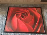 Gorgeous large Rose picture