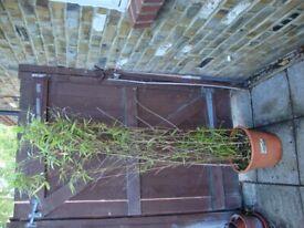 Golden Bamboo Plant - Phyllostachys Aurea