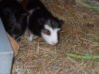 Very Tame cute Guinea Pig Babies