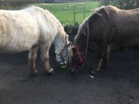 Highland Ponies for Loan