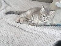 *SOLD* SOLD* Male silver kitten, absoultely stunning