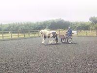 Horse Gypsy cob mare