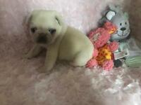 My beautiful pug babies white and cream n tan champion bloodlines of the little monster