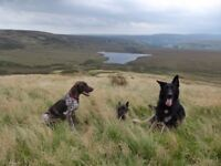 Dog walking on moorland in Huddersfield