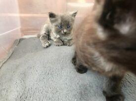 Grey male kitten and a black/ grey male kitten for sale