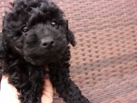 BEAUTIFUL TOY POODLE PUP .BOY