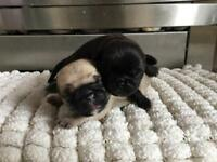 Pug puppies ready from 28th October