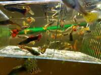 Near 20 guppies male for sell