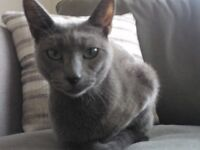 MISSING Small neutered Russian Blue female cat