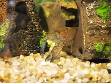 Blue clawed yabby 10cm Blackburn Whitehorse Area Preview