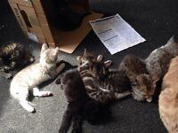 Beautiful half BSH kittens