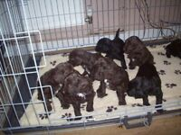 sproodle puppies for sale