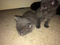 2 male grey kittens