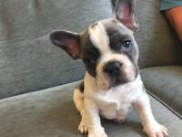 French Bulldog puppy for sale - KC registered - Blue and White