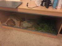 2 year old corn snake and set up