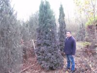 Huge thuya conifer slow growing approx 10ft to 12ft
