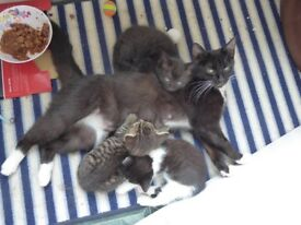 Female Black-and-White CAT -- rescued with four kittens (tabby, black, black & white)