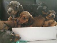 Datchshund puppies