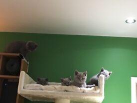 Bsh shorthair kittens for sale
