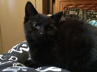 Black Kitten looking for a forever family