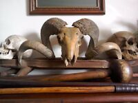Antique Taxidermy Rams Skull with Huge Horns.