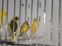 RAZA CANARIES FOR SALE.
