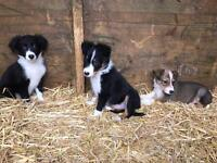 3 beautiful Welsh collie pups for sale