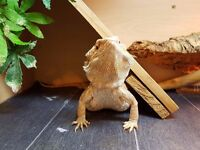 male bearded dragon (one year old)
