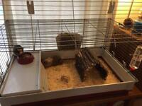 2 female guinea pigs (6months old) and cage.