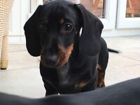 Miniature smooth haired dachshund pups