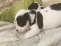 4 gorgeous jack Russel puppies