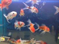 shubunkins and fan tail goldfish