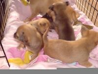 CHIHUAHUA PUPS FOR SALE ,BOTH PARENTS CAN BEE SEEN, (FATHER PEDIGREE)
