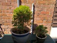 Two fir trees