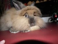 Stunning Long Haired Baby Bunny for sale