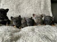 French bulldog puppies 🐶