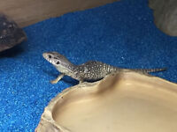 Baby Lizard for sale (Bosc Monitor)