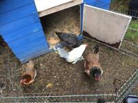 Group of bantam chickens