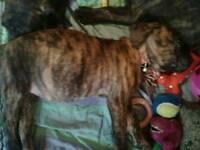 Have brindle mastiff cross nopoleon rottweiler puppys